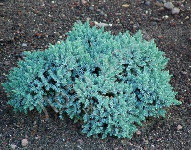 Žvynuotasis kadagys 'Blue star' (Juniperus squamata 'Blue star')