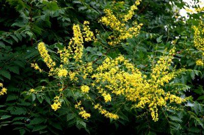 Gausiažiedė kelreiterė (Koelreuteria paniculata)