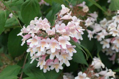 Puošnioji kolkvicija (Kolkwitzia amabilis)
