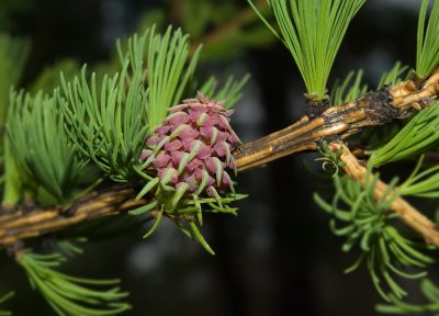 Sibirinis maumedis (Larix sibirica)