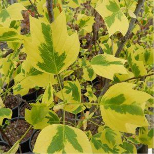 Margalapis tulpmedis 'Aureomarginatum' (Liriodendron tulipifera 'Aureomarginatum')