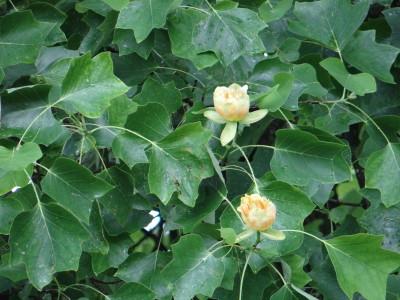 Gelsvažiedis tulpmedis (Liriodendron tulipifera)