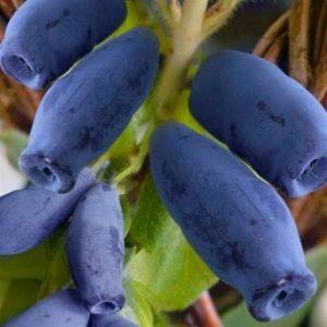 Valgomasis sausmedis 'Nimfa' (Lonicera caerulea var. kamtschatica 'Nimfa')