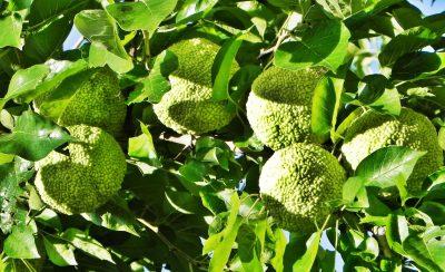 Obuolinė makliūra (Maclura pomifera)