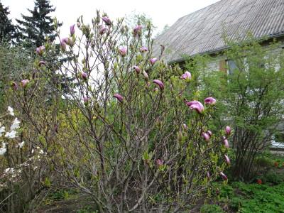Magnolija 'Susan' (Magnolia 'Susan')