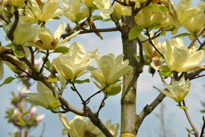 Bruklino magnolija 'Elizabeth' (Magnolia brooklynensis 'Elizabeth')