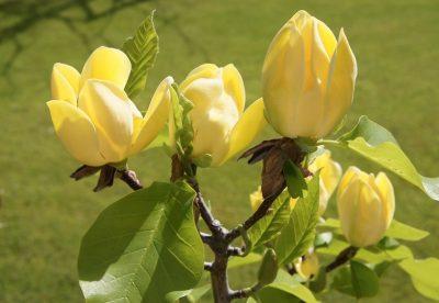 Bruklino magnolija  'Yelow Bird' (Magnolia brooklynensis 'Yelow Bird')