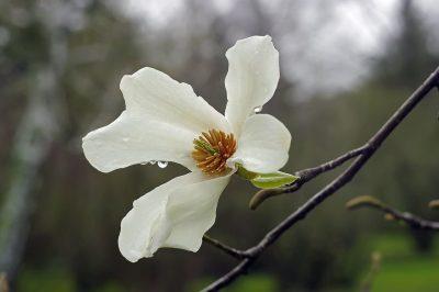 Japoninė magnolija (Magnolia kobus)