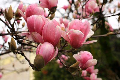Sulanžo magnolija (Magnolia soulangeana)