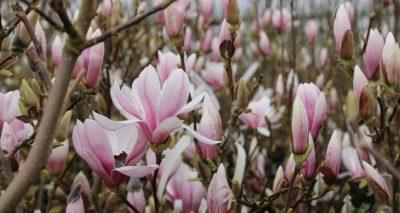Sulanžo magnolija 'Alexandrina' (Magnolia soulangeana 'Alexandrina')