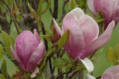 Sulanžo magnolija 'Lennei' (Magnolia soulangeana 'Lennei')