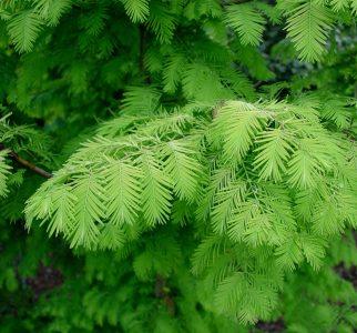 Tikroji metasekvoja (Metasequoia glyptostroboides)