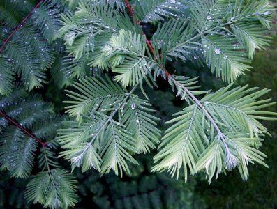 Tikroji metasekvoja 'Blue - ish' (Metasequoia glyptostroboides 'Blue - ish')
