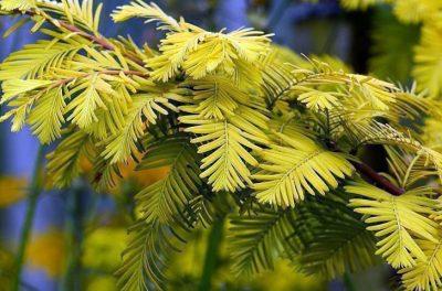 Tikroji metasekvoja 'Gold Rush' (Metasequoia glyptostroboides 'Gold Rush')
