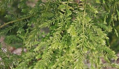 Tikroji metasekvoja 'Little Creamy' (Metasequoia glyptostroboides 'Little Creamy')