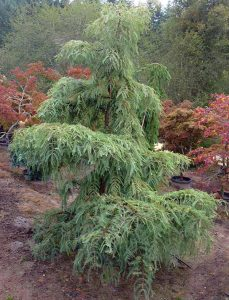 Tikroji metasekvoja 'Miss Grace' (Metasequoia glyptostroboides 'Miss Grace')