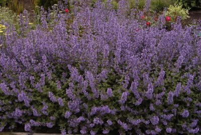 Katžolė 'Walker's Low' (Nepeta 'Walker's Low')