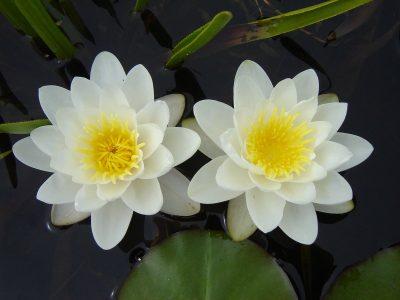 Vandens lelija 'Marliacea Albida' (Nymphaea 'Marliacea Albida')
