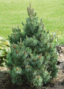 Kalninė pušis 'Columbo' (Pinus mugo 'Columbo')