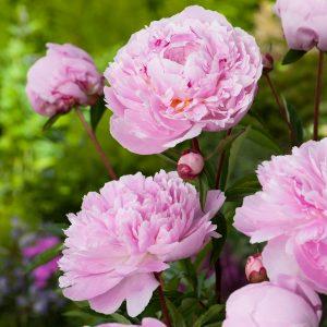 Puikusis bijūnas 'Sarah Bernhardt' (Paeonia  lactiflora 'Sarah Bernhardt')
