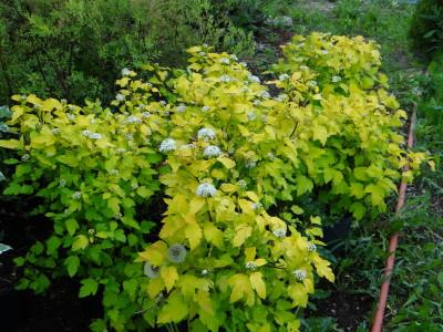 Putinalapis pūslenis 'Darts Gold' (Physocarpus opulifolius 'Darts Gold')