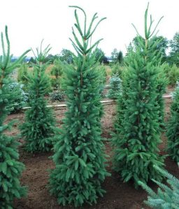 Paprastoji eglė 'Cupressina' (Picea abies 'Cupressina')