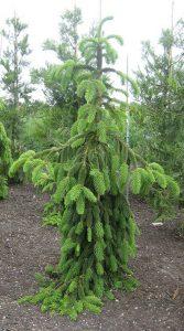 Svyruoklinė eglė 'Inversa' (Picea abies 'Inversa')