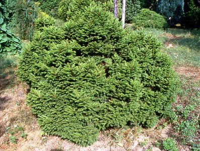Paprastoji eglė 'Maxwellii' (Picea abies 'Maxwellii')