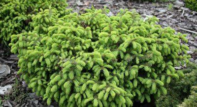 Paprastoji eglė 'Nidiformis' (Picea abies 'Nidiformis')