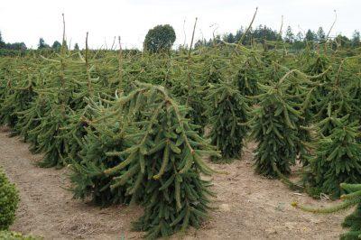 Paprastoji eglė 'Pendula Major' (Picea abies 'Pendula Major')