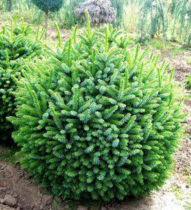 Serbinė eglė 'Nana' (Picea omorika 'Nana')