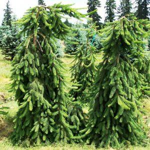 Serbinė eglė 'Pendula' (Picea omorika 'Pendula')