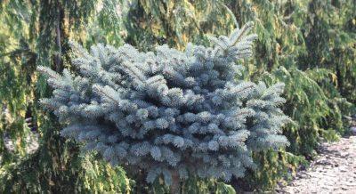 Dygioji eglė 'Glauca Globosa' (Picea pungens 'Glauca Globosa')
