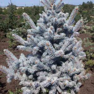 Dygioji eglė 'Glauca Mister Blue' (Picea pungens 'Glauca Mister Blue')