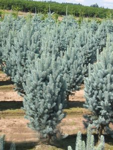 Dygioji eglė 'Iseli fastigiata' (Picea pungens 'Iseli Fastigiata')