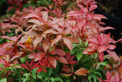 Japoninis pieris 'Mountain Fire' (Pieris japonica 'Mountain Fire')