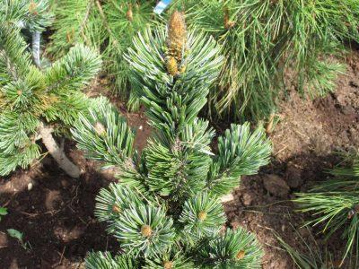 Akuotoji pušis (Pinus aristata)