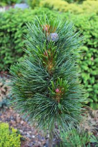 Kedrinė pušis (Pinus cembra)