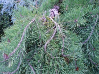 Lenktašakė pušis  'Pendula' (Pinus flexilis 'Pendula')
