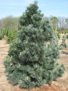 Lenktašakė pušis 'Vanderwolf's Pyram' (Pinus flexilis 'Vanderwolf's Pyram')