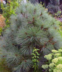 Džefrio pušis (Pinus jeffreyi)