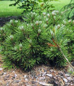 Baltažievė pušis (Pinus leucodermis)