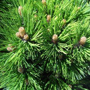 Baltažievė pušis 'Malinkii' (Pinus leucodermis 'Malinkii')