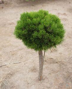 Baltažievė pušis 'Smidtii' (Pinus leucodermis 'Smidtii')