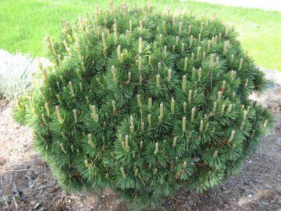Kalninė pušis 'Gnom' (Pinus mugo 'Gnom')