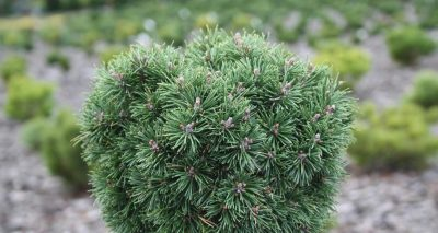 Kalninė pušis 'Mini Mops' (Pinus mugo 'Mini Mops')