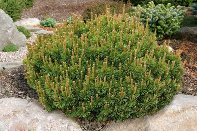 Krūminė kalninė pušis var. 'Pumilio' (Pinus mugo 'Pumilio')