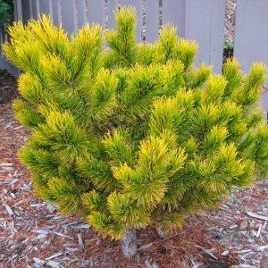 Kalninė žemaūgė pušis 'Winter Gold' (Pinus mugo 'Winter Gold')
