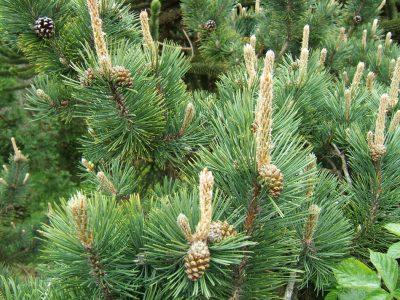 Kalninė pušis (Pinus mugo uncinata)