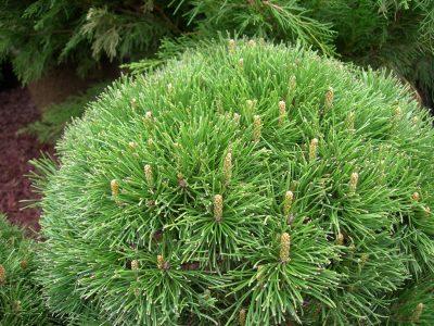 Krūminė kalninė pušis var. mughus (Pinus mugo var. mughus)